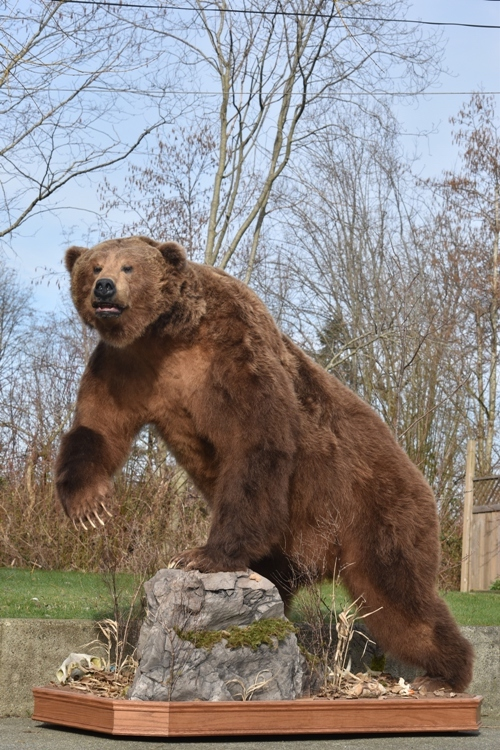 Alaskan Brown Bear mount